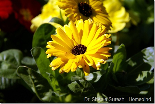 Calendula-officinalis-Pot-Marigold-Images